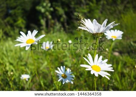 Flowering of daisies / marguerites in Czech nature. Oxeye daisy, Leucanthemum vulgare, Common daisy, Dog daisy, Moon daisy. #1446364358