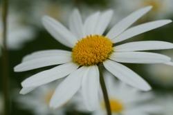 Flowering of daisies or marguerite. Oxeye daisy, Leucanthemum vulgare, Daisies, Dox-eye, Common daisy, Dog daisy, Moon daisy. Gardening concept