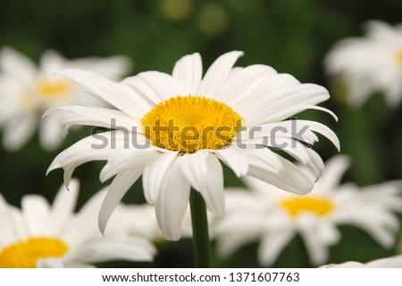 Flowering of daisies. Oxeye daisy, Leucanthemum vulgare, daisies,  Common daisy, Dog daisy, Moon daisy. Gardening concept #1371607763