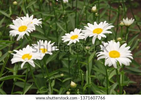 Flowering of daisies. Oxeye daisy, Leucanthemum vulgare, daisies,  Common daisy, Dog daisy, Moon daisy. Gardening concept #1371607766