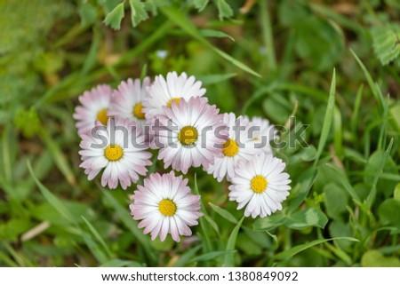 Flowering of daisies. Oxeye daisy, Leucanthemum vulgare, daisies, Common daisy, Dog daisy, Moon daisy. Gardening concept #1380849092
