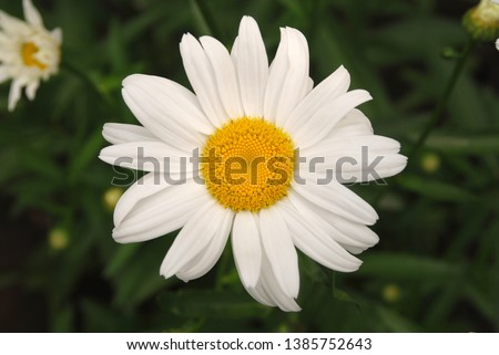 Flowering of daisies. Oxeye daisy, Leucanthemum vulgare, daisies,  Common daisy, Dog daisy, Moon daisy. Gardening concept #1385752643