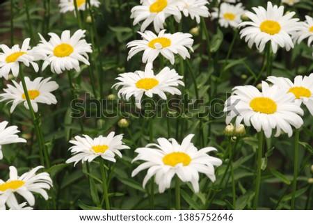 Flowering of daisies. Oxeye daisy, Leucanthemum vulgare, daisies,  Common daisy, Dog daisy, Moon daisy. Gardening concept #1385752646