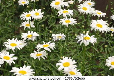 Flowering of daisies. Oxeye daisy, Leucanthemum vulgare, daisies,  Common daisy, Dog daisy, Moon daisy. Gardening concept #1385752655