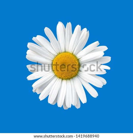 Flowering of daisies. Oxeye daisy, Leucanthemum vulgare, daisies, Common daisy, Dog daisy, Moon daisy.  Stock foto ©