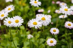 Flowering of daisies. Oxeye daisy, Leucanthemum vulgare, Daisies, Dox-eye, Common daisy, Dog daisy, Moon daisy. Gardening concept