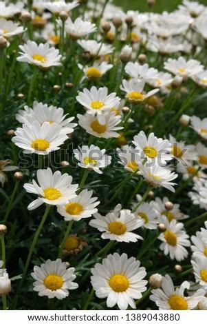 Flowering of daisies. Oxeye daisy, Leucanthemum vulgare, Daisies, Dox-eye, Common daisy, Dog daisy, Moon daisy. #1389043880
