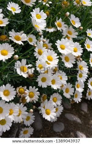 Flowering of daisies. Oxeye daisy, Leucanthemum vulgare, Daisies, Dox-eye, Common daisy, Dog daisy, Moon daisy. #1389043937