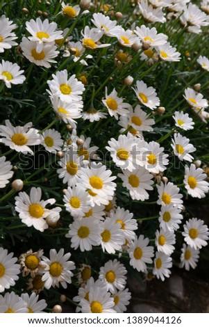 Flowering of daisies. Oxeye daisy, Leucanthemum vulgare, Daisies, Dox-eye, Common daisy, Dog daisy, Moon daisy. #1389044126