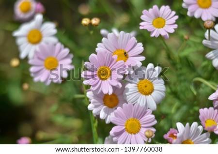 Flowering of daisies. Oxeye daisy, Leucanthemum vulgare, Daisies, Dox-eye, Common daisy, Dog daisy, Moon daisy. Gardening concept  #1397760038