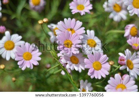 Flowering of daisies. Oxeye daisy, Leucanthemum vulgare, Daisies, Dox-eye, Common daisy, Dog daisy, Moon daisy. Gardening concept  #1397760056