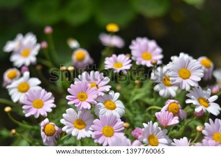 Flowering of daisies. Oxeye daisy, Leucanthemum vulgare, Daisies, Dox-eye, Common daisy, Dog daisy, Moon daisy. Gardening concept  #1397760065
