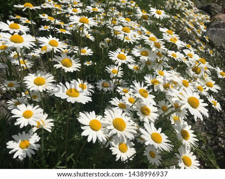 Flowering of daisies. Oxeye daisy, Leucanthemum vulgare, Daisies, Dox-eye, Common daisy, Dog daisy, Moon daisy. Macro details of white colored. #1438996937