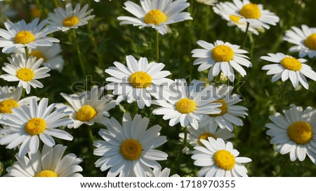 Flowering of daisies. Oxeye daisy, Leucanthemum vulgare, Daisies, Dox-eye, Common daisy, Dog daisy, Moon daisy. Gardening concept Stock foto ©