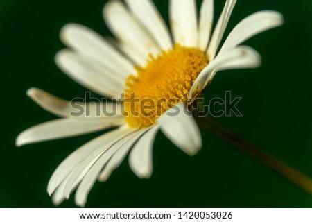 Flowering of daisies. Oxeye daisy, Moon daisy, Leucanthemum vulgare, Daisies, Dox-eye, Common daisy, Dog daisy. Close up gardening concept #1420053026