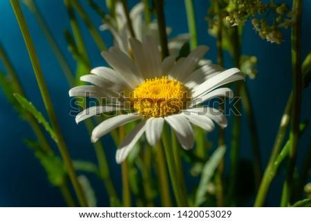 Flowering of daisies. Oxeye daisy, Moon daisy, Leucanthemum vulgare, Daisies, Dox-eye, Common daisy, Dog daisy. Close up gardening concept #1420053029