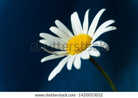 Flowering of daisies. Oxeye daisy, Moon daisy, Leucanthemum vulgare, Daisies, Dox-eye, Common daisy, Dog daisy. Close up gardening concept #1420053032