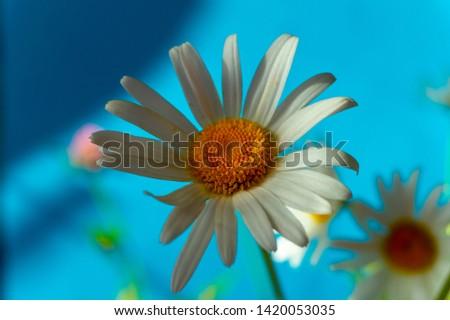 Flowering of daisies. Oxeye daisy, Moon daisy, Leucanthemum vulgare, Daisies, Dox-eye, Common daisy, Dog daisy. Close up gardening concept #1420053035