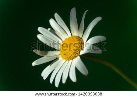 Flowering of daisies. Oxeye daisy, Moon daisy, Leucanthemum vulgare, Daisies, Dox-eye, Common daisy, Dog daisy. Close up gardening concept #1420053038