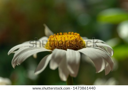 Flowering of daisies. Oxeye daisy, Moon daisy, Leucanthemum vulgare, Daisies, Dox-eye, Common daisy, Dog daisy. Close up gardening concept #1473861440