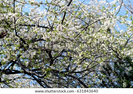 Flowering of fruit trees white flowers ez canvas flowering of fruit trees white flowers mightylinksfo