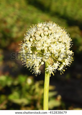 Flowering Of Garlic A Beautiful Ball Of Small Flowers Roots Of