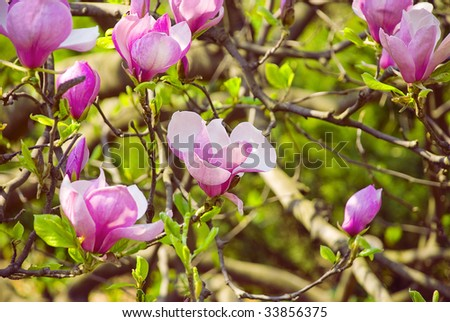 Flowering of magnolia - as openings up flowers so are buds on a background a foliage