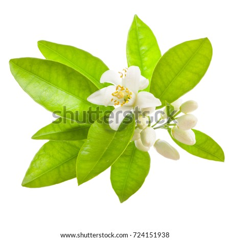 Flowering of oranges. Orange flowers and leaves Isolated on white background