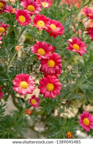 Flowering of red daisies. Dox-eye, Common daisy, Dog daisy, Moon daisy. #1389045485