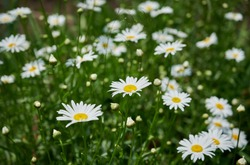Flowering of white daisies (Oxeye daisy, Leucanthemum vulgare). white floral background. selective focus.  Tender romantic floral background.