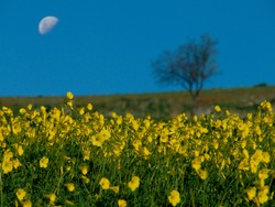 flowering of yellow wild flowers, on the horizon a blurred silhouette of lone tree and half moon in the sky at evening in Sicily