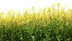 Flowering oilseed rape on a white background