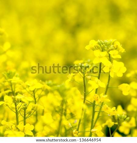 Flowering oilseed rapeseed