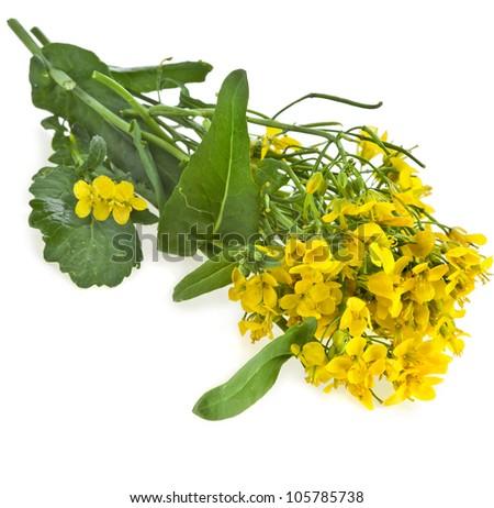 Flowering oilseed rapeseed , Rape blossoms , Brassica napus, isolated
