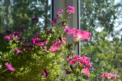 Flowering petunia in sunny day. Bright pink flowers with frilly edges decorate garden on the balcony