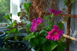 Flowering petunia with bright pink flowers in potted garden on the balcony