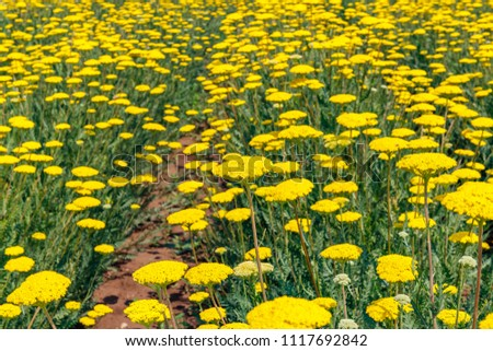 Flowering pharmacological plant Achillea filipendulina . Yarrow plants on agricultural field. Fern Leaf Yarrow flower.