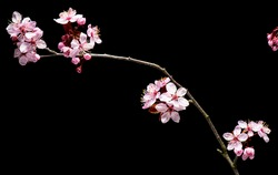 Flowering pink Cherry flowers on black background. Opening Sakura flowers on branches Cherry tree at spring.