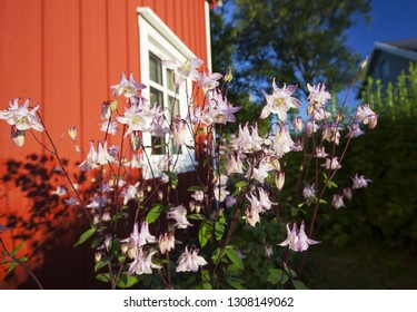 Stock photo of flowering pink columbines (aquilegia) in garden on sunny summer morning