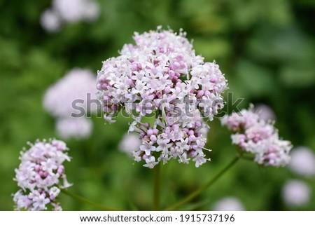 Flowering pink common valerian plant valeriana sambucifolia Foto stock ©