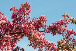 Flowering Pink Crabapple tree in the garden on a spring sunny day. Floral background