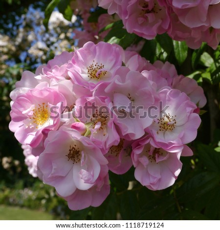 Flowering Pink English Climbing Rosa Evangeline Rose Bush