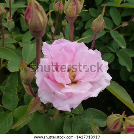 Flowering Pink English Rosa THE MAYFLOWER Rose Bush