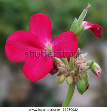 Flowering Pink Geranium