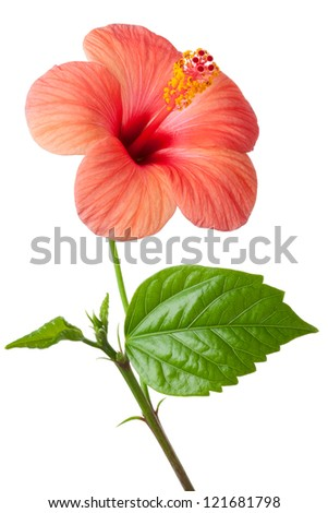 Flowering pink Hibiscus. Isolated on a white. #121681798