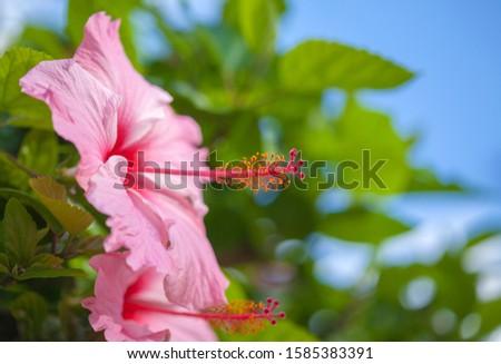 Flowering pink hibiscus natural tropical floral macro background