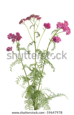 Flowering pink milfoil on white background