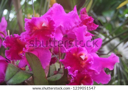 Flowering pink orchid CATTLEYA PETCH RATCHASRIMA (Brassolaeliocattleya) with purple calyx. Blooms of the Cattleya alliance are often used in ladies corsages. Tropical exotic orchidaceae from Thailand