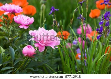 Flowering Pink Peonies, Irises and Poppies in Garden