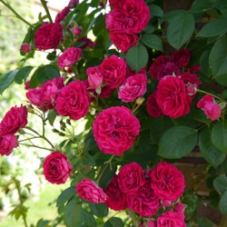 Flowering Pink Red English Rose Chevy Chase Climbing Rose Bush